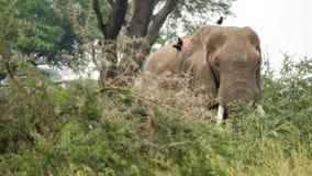 Wild elephant with many birds over back Stock Images