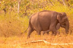 Wild elephant moving on with its herd or the group of elephants in the forest. Wild elephant in a good mood posing for the photographer to click photo Royalty Free Stock Photography
