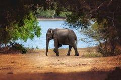 Wild elephant in nature Royalty Free Stock Photos