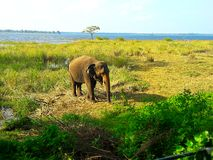 Wild elephant in sri lanka stock image