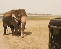 Wild elephant near safari vehicle ,srilanka. Giant wild elephant near safari vehicle about to attack at kaudulla safari park ,polonnaruwa , srilanka Stock Photography