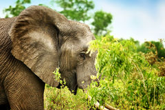 Wild elephant portrait Stock Photography