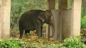 Wild elephant in rehabilitation. Enjoying the shed as a respite from rain on an overcast day Stock Images
