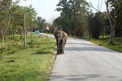 Wild elephant on the road. Wild elephant walking on the road Royalty Free Stock Photos
