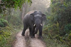 Wild Elephant on Road. A wild bull elephant on the road in the jungle stock photography