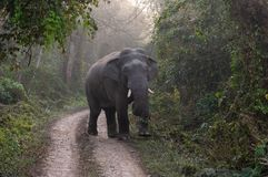 Wild Elephant on the Road. A wild bull elephant on the road in the jungle stock photos