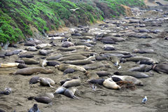 Wild elephant seal Stock Photos