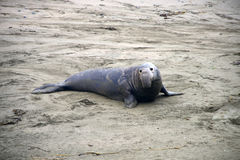 Wild elephant seal Stock Images