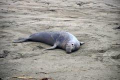 Wild elephant seal Stock Image