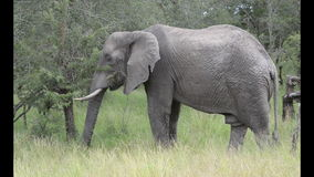 Wild elephant in south africa stock video footage