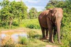 Wild elephant in Sri Lanka. Sri Lankan wild elephant in safari national park Stock Photography