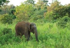 Wild Elephant Royalty Free Stock Images