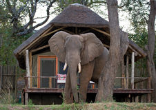 Wild elephant standing next to the tent camp. Zambia. Lower Zambezi National Park. Stock Photo