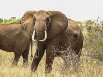 Wild elephant staring at the camera in Kenya Stock Photography