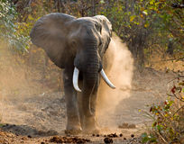 Wild Elephant Throws The Dust. Zambia. South Luangwa National Park. Stock Photos