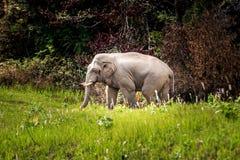 Wild Elephant walk across green grass field at Khaoyai national park thailand. Wild Elephant walk across green grass field at Khaoyai national park Nakhon stock photography