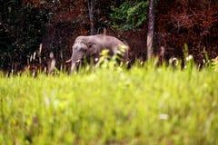 Wild Elephant walk across the road at Khaoyai national park thailand. Wild Elephant walk across green grass field at Khaoyai national park Nakhon Ratchasima stock photo