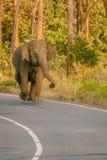 Wild elephant walking on road. Huge wild elephant walking on road , srilanka Stock Photos