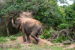 Wild Elephant Stock Image