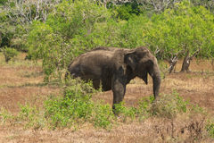 Wild elephant in Yala National Park Royalty Free Stock Image