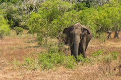 Wild elephant in Yala National Park Royalty Free Stock Photos