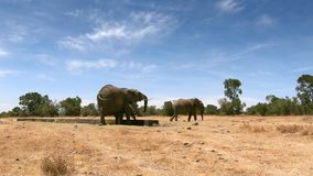 Wild elephants in Central Kenya stock video footage