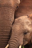 Wild elephants close-up Stock Photos