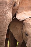 Wild elephants close-up Royalty Free Stock Photography
