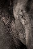 Wild elephants closeup , dangerous. Wild elephants closeup dangerous ear eye face sri srilanka wildlife stock photo