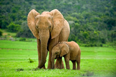 Wild elephants Royalty Free Stock Photos