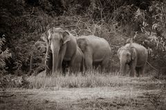 Wild elephants family stock photo