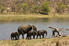 Wild elephants family on the river bank, Kruger national park, SOUTH AFRICA Stock Photos