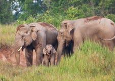 Wild Elephants Stock Image