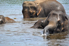Wild elephants Royalty Free Stock Photography