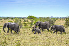 Wild elephants, herd Stock Photos