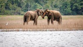 Wild elephants in love , Maduru Oya , Sri lanka. Beautiful scenery of wild elephants couple in love , Maduru Oya , Sri lanka stock photos