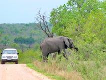 Wild elephants on morning game drive safari. Wild elephants on a morning game drive safari in South Africa Stock Image