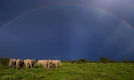 Wild elephants on a rainbow background Royalty Free Stock Photo