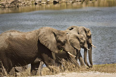 Wild elephants on the river bank, Kruger national park, SOUTH AFRICA Stock Photography