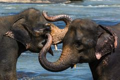 Wild elephants on a safari in central sri lanka Stock Images