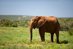Wild elephants Royalty Free Stock Image