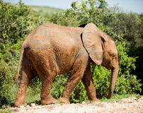 Wild elephants Stock Photos