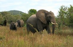 Wild elephants in South Africa. Safari in Cape Town, South Africa Stock Image