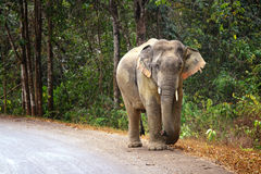 Wild elephants in Thailand Royalty Free Stock Images