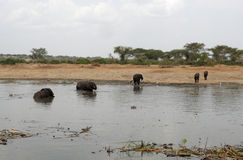 Wild elephants in Uganda Stock Photos