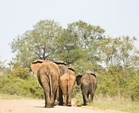 Wild elephants walking on a trail, Kruger National park, South Africa Stock Photo