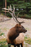 Wild Elk. Wild Bull Elk, Banff National Park Alberta Canada Stock Photo