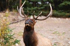 Wild Elk Stock Images