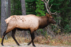 Wild Elk. Wild Bull Elk, Banff National Park Alberta Canada Stock Photos