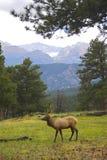 Wild Elk Stock Photography
